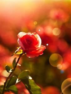 Rose In Kartoffel Anpflanzen : wie aus einer kartoffel rosen wachsen ~ Lizthompson.info Haus und Dekorationen