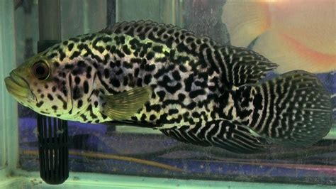 jaguar fish jaguar cichlid aquarium fish youtube