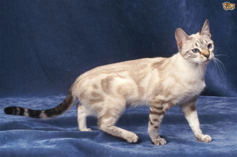 bengals colors bengal cat colours and coat types pets4homes