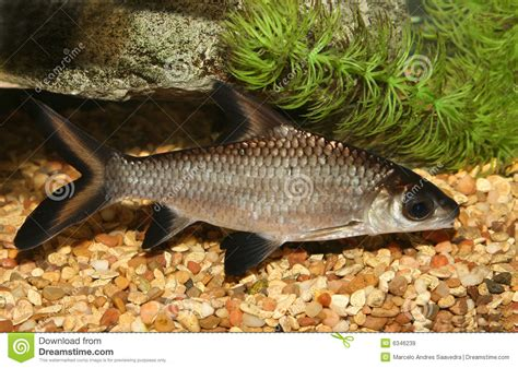 poisson requin aquarium eau douce poissons de requin de bala images libres de droits image 6346239