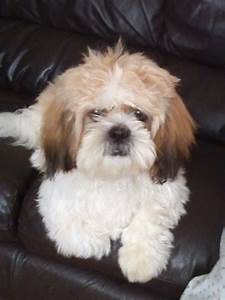 male white and brown shih tzu | Washington, Tyne and Wear ...