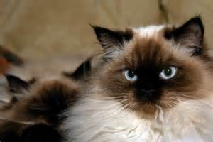himalayan cats for current affairs himalayan cat