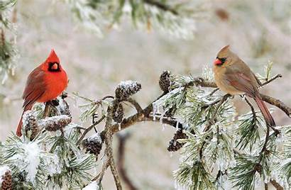 Northern Cardinal Cardinals Female Male Mating Winter