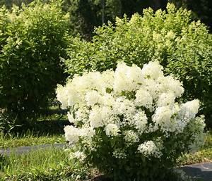 Bobo® Hardy Hydrangea - Eclectic - Landscape - chicago