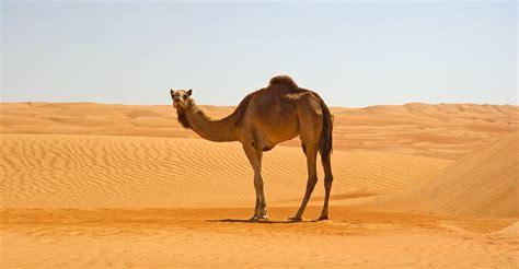 Camel Images Camel Wallpapers Backgrounds