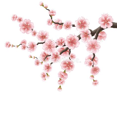 Japanese Cherry Tree Spreading Branch Of Pink Cherry