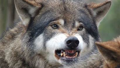 Wolf Mountain Rocky Northern Wolves Facts Wisconsin