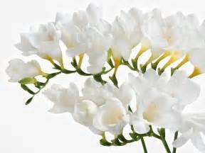 lilies flower freesia montana x 10 bulbs bulbs direct
