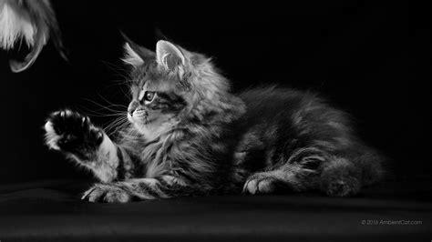 fond ecran bureau 1366 x 768 noir et blanc belles images de bureau chats