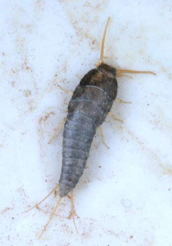 Silverfish Bugs Babies