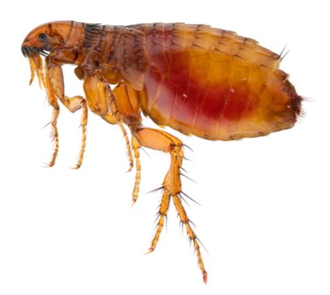 fleas hardwood floors borax borax for fleas