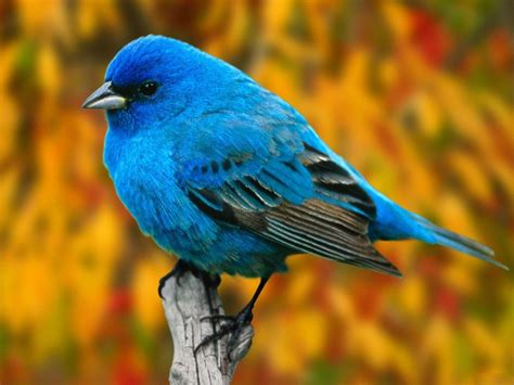 tiny blue bird beautiful birds picture