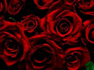 Dark Red Roses | Can't believe I saw these in a discount ...