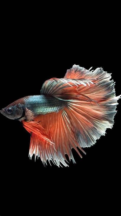 Fish Iphone Betta 6s Wallpapers Fighting Dark