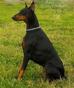 Pin by Darren Driscoll on Doberman Pinscher | Pinterest