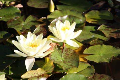 how water lilies grow water lily plants how to grow a water lily