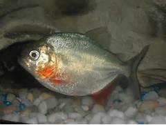 Piranha    Joshu Lang ...