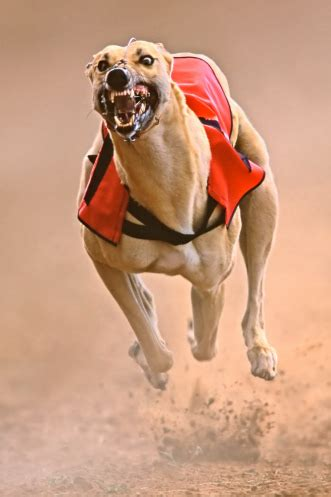 greyhound breed information history health pictures