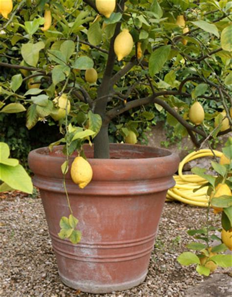 citrus plants how to grow citrus
