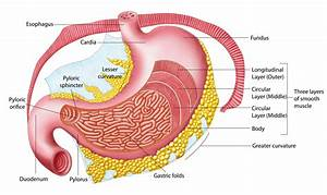 Anatomy Of The Stomach  With Pictures