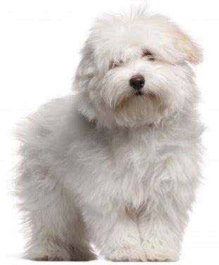 Good Non Shedding Small Dogs by Coton De Tulear The Ultimate Fluffy Dog