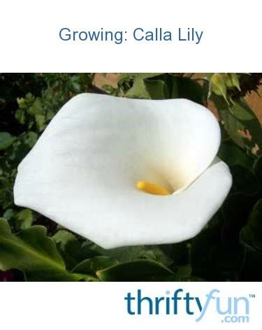 growing calla lily thriftyfun