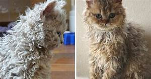 T Rex Design Curly Haired Cats Are Going Viral On Instagram And Cat