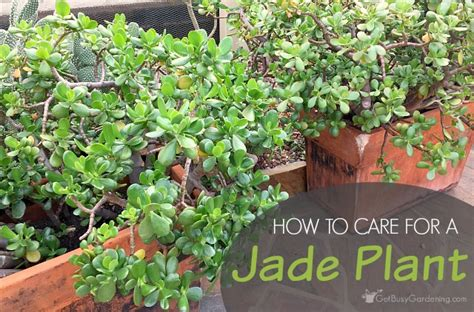 how to care for plant jade plant care tips how to care for a jade plant