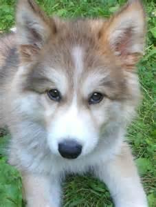 Cute Wolf Dog Puppies