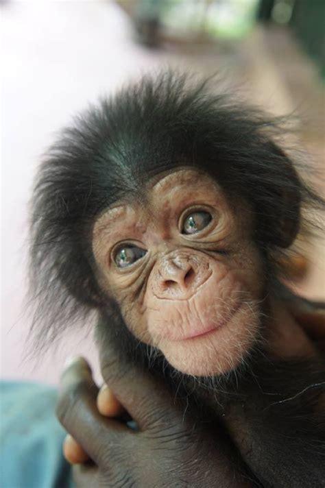bebe chimpance hace nuevos amigos mientras espera  su