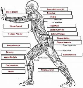 Muscles Labeling Side Body