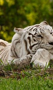 Happy Tiger. | The existence of pure white Siberian tigers ...