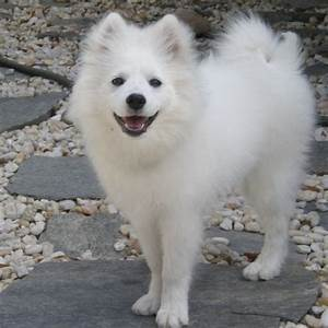 File:American Eskimo Dog 2.jpg - Wikimedia Commons