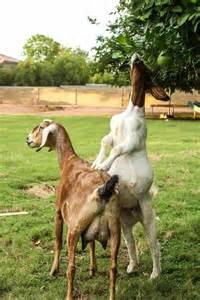 How Much Do Goats Eat