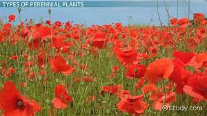 What Are Perennial Plants  - Examples  U0026 Types