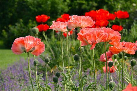 Garten Mohn Pflanzen by Verf 252 Hrerischer Mohn Mein Sch 246 Ner Garten