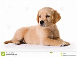 royalty free stock images puppy image