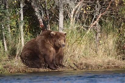 Katmai Fat Bear National Bears Park Want