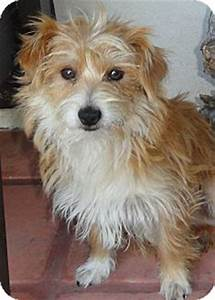 Enzo | Adopted Dog | Santa Ana, CA | Norfolk Terrier ...