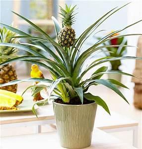 Plant D Ananas : 2019 2018 new product pineapple seeds bag dwarf pineapple plant tree fruit rare bonsai plants ~ Melissatoandfro.com Idées de Décoration