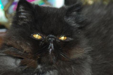chat persan noir chat persan noir loof castr 233 2 ans geay 17250