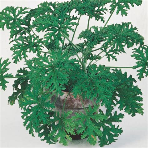 care for citronella plant citrosa geranium indoors pelargonium citrosum my garden insider