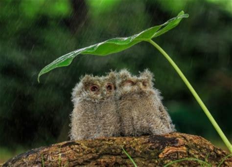 hotspot pictures adorable owls shelter   rain