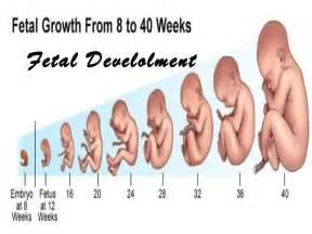 Janin 11 Minggu Fetal Development