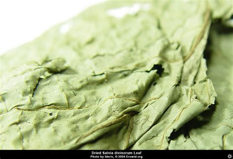 erowid plants vaults images salvia divinorum dried
