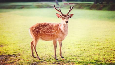 sika deer history udaily