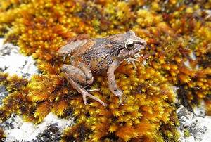 Three Species Of Frogs As Small As Grapes Found In Peru