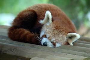 Sleeping firefox | Red panda, bear cat, red fox or fire ...