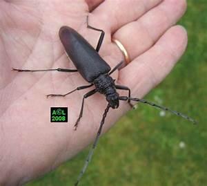 Insecte Qui Mange Le Bois : le grand capricorne du ch ne cerambyx cerdo biologie et ~ Farleysfitness.com Idées de Décoration