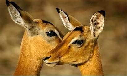 Africa Animal Ciervos Antelope Dos Wildlife Pexels